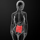 3d render of the female small intestine — Stock Photo