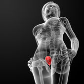 3d render female bladder anatomy x-ray — Stock Photo