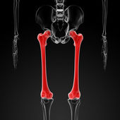 Femur bone — Foto Stock