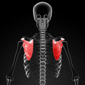 3d render medical illustration of the scapula — Stock Photo