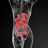 Female digestive system — Stock Photo