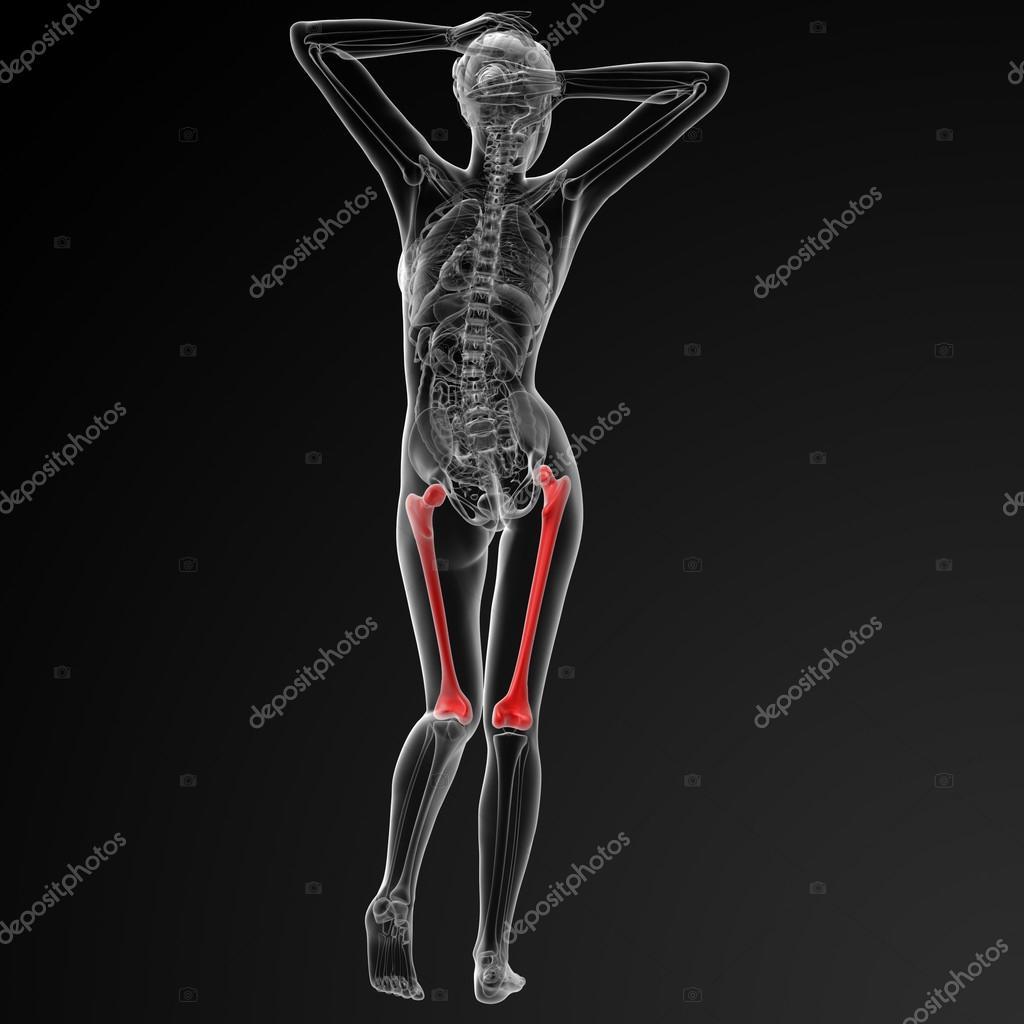 фото бедренной кости у человека