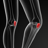 Patella — Stock Photo