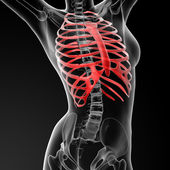 Ribcage bone — Stock Photo