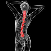 Vertebral column — Stock Photo