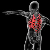 Skeleton bone — Stock Photo