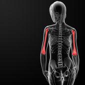 плечевой кости — Стоковое фото