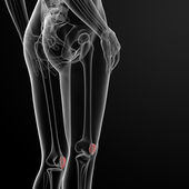 Patella bone — Stock Photo