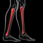 Tibia bone — Stock Photo