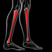 Tibia bone — Стоковое фото