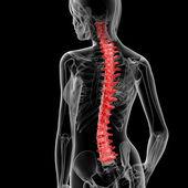 Spine bone — Stock Photo
