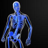 скелет кости — Стоковое фото