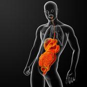 Sistema digestivo humano — Foto de Stock