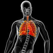 Ademhalingsstelsel — Stockfoto