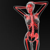 Menselijk skelet — Stockfoto