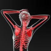 Skeleton human — Stock Photo