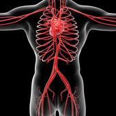 Vascular system — Foto Stock