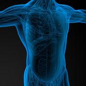 Human anatomy — Stock Photo