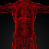 男性の解剖学 — ストック写真