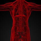 Male anatomy — Stock Photo