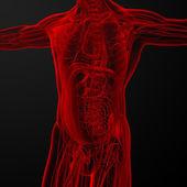 Manliga anatomi — Stockfoto