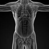 Männliche anatomie — Stockfoto
