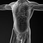 Mužské anatomie — Stock fotografie