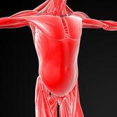Muscoli maschili — Foto Stock