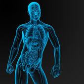 Anatomia masculina — Foto Stock