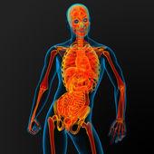 Anatomía masculina — Foto de Stock