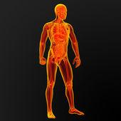 Erkek anatomisi — Stok fotoğraf
