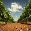Vineyard of Croazia in the summer - 图库照片