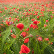 Red poppies-fiel — Stock Photo