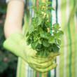 Hands holding plant of oregan — Foto Stock