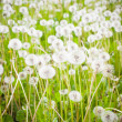 Dandelion field — Stock Photo #26419631