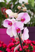White orchid on greenhous — Stock Photo