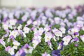 Kleurrijke primula in een kas — Stockfoto