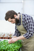 Young  man planting flowers in green house — Stock Photo