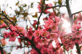 Lente cherry blossom — Stockfoto