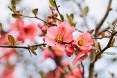 Kwiat wiosna wiśnia — Zdjęcie stockowe