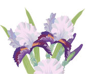 Bouquet of Irises on a White Background — Stock Vector