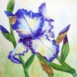 Stock Photo: White Blue Iris
