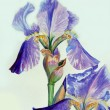 Two Irises - Stock Photo