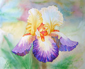 Multi coloured Iris in a Garden — Stock Photo
