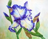 White Blue Iris — Stock Photo