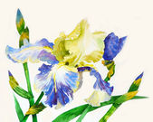 Iris with blue yellow petals — Stok fotoğraf