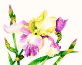 Iride con petali di rosa gialle — Foto Stock