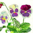Stock Photo: Claret blue pansies