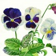 Stock Photo: White blue pansies