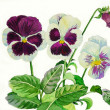 Stock Photo: White claret pansies